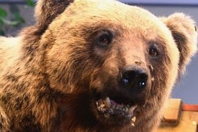 russia news latest brown bear attack circus putin moscow united russia